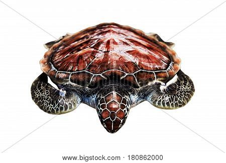 loggerhead the loggerhead sea turtle red lies insulated on white background