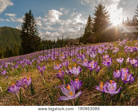 Magnificent sunset over mountain meadow with beautiful blooming purple crocuses. Chocholowska valley Tatra Mountains Carpathians Poland