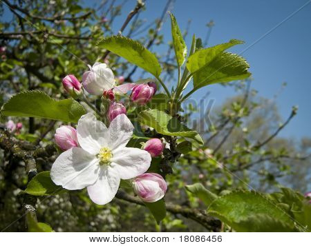 An image of a beautiful apple blossom