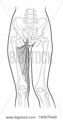 Adductor hamstrings: large and small adductor muscle, short and long adductor muscle and thin hip thigh. Front view. Vector. Isolated on white backgroundVector. Isolated on white background