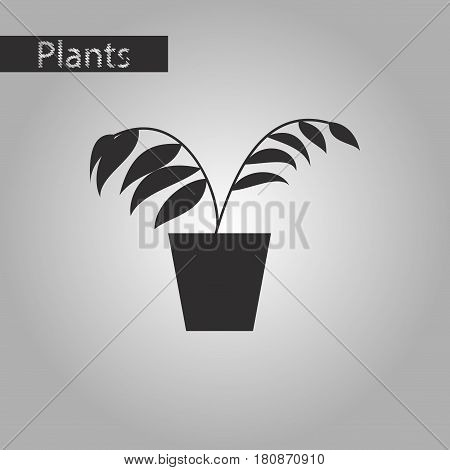 black and white style icon Ficus house plant