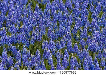 Grape hyacinth , texture full Grape hyacinth