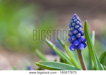 Grape hyacinth , Grape hyacinth blur backround