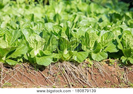 Fresh green cabbage from convert organic vegetable