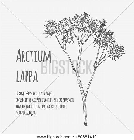Vector illustration of Greater Burdock. Lineart. Arctium lappa.