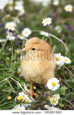 Cute chick in colorful meadow