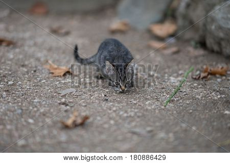 A small gray kitten sniffs the road from the gray stones, around lie dry brown leaves