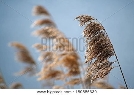 Common reed (phragmites australis) dry seed heads in spring against a blue sky nature background selective focus narrow depth of field