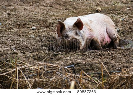 Relaxed pig enjoys the mud outside free range animal farming natural and organic agriculture in northern Germany copy space