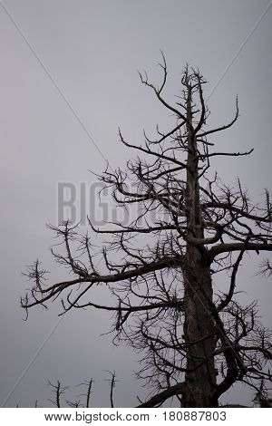 dry tree with bare branches against a gray sky