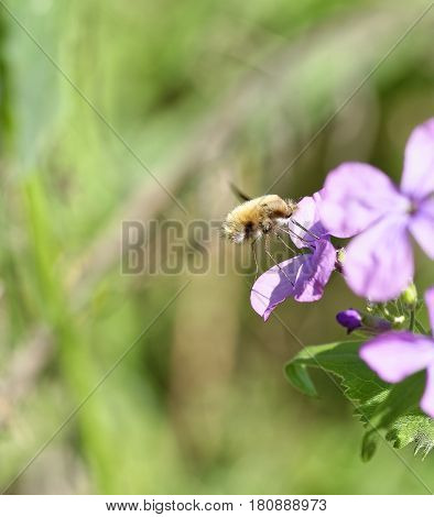 Bee-fly Bombylius harvesting nectar from a flower in a meadow