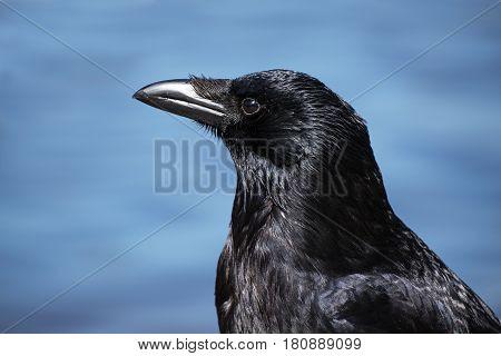 Carrion crow (corvus corone) headshot portrait against a blue background
