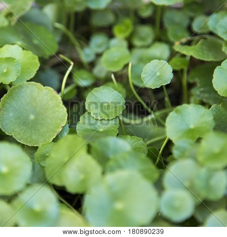 Close up gotu kola leaf (Centella asiatica)