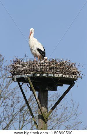 Storks on nest on pole against blue sky