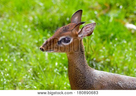 Head of a Dik-Dik on a green background watching the surroundings in a wildlife park