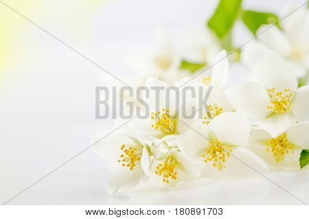 Soft focus on white jasmine flowers, background