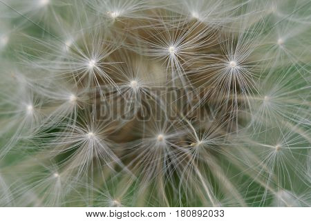 Closeup of dandelion for texture abstract background extreme macro.