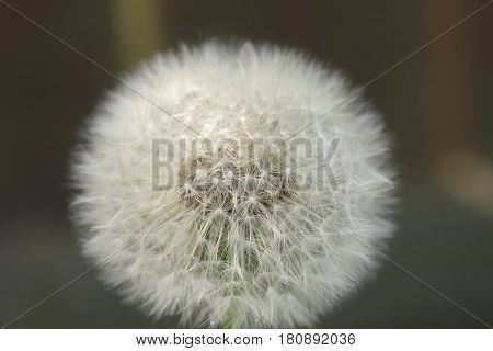 Closeup Of Dandelion For Texture Abstract Background, Extreme Macro