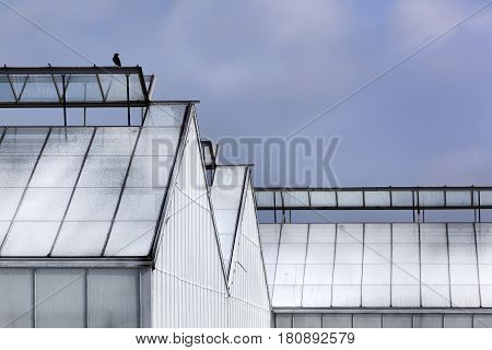 Whitened greenhouse and a black bird on top in Westland in the Netherlands