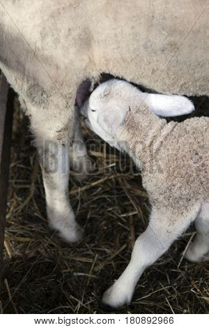 young lamb drinks from udder of ewe in barn