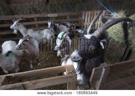 curious goat with black head looks over wooden fence in barn on organic farm in holland