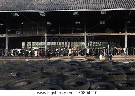 row of black and red holstein cows that feed in half open stable on organic farm in the netherlands behind car tires