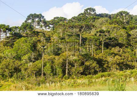 Araucaria Angustifolia Forest