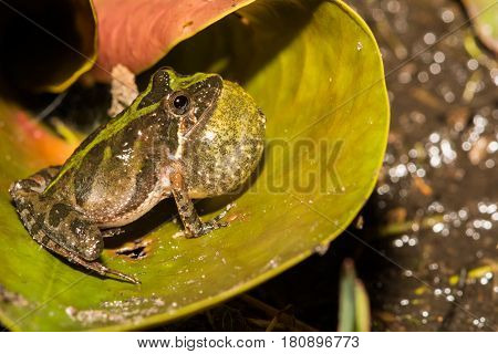 A Florida Cricket Frog calling from a Lilly pad at the edge of a small pond.