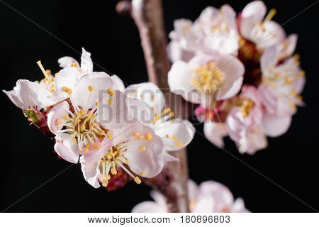 Gentle cherry blossom flowers closeup on dark background