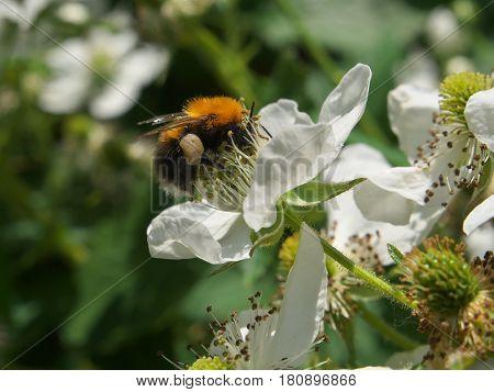 Bee Pollinating A Blackberry Flower In Summer Garden, Closeup Dewberry