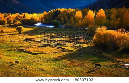 Cow and horse eating in the beautiful prairie scenery in Xinjiang China .