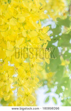 Cassia fistula flowers Golden shower flowers Yellow flowers summer in thailand