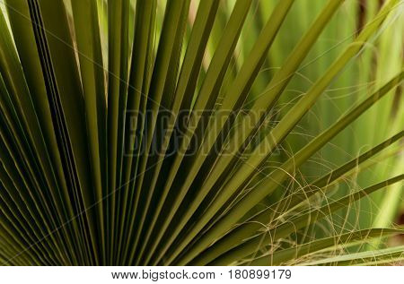 Green Fan Palm Leaves