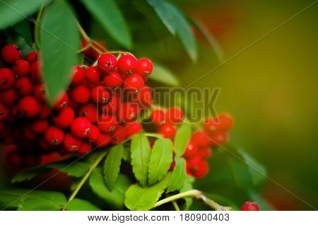 Blurred background - rowan tree with bright red berries