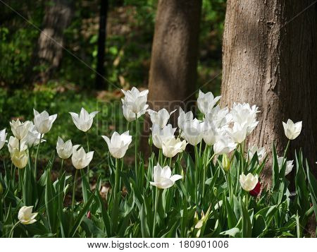 A patch of white tulips in the woods