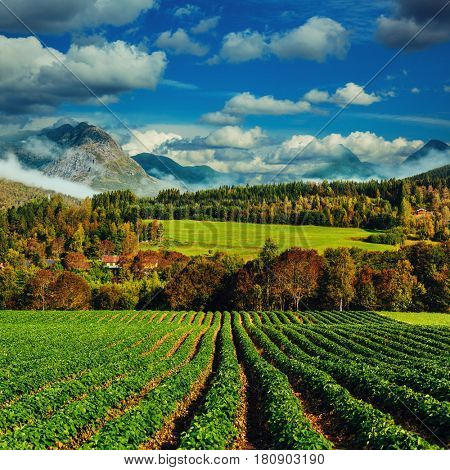 Beautiful Norway landscape. Strawberries field on foreground.