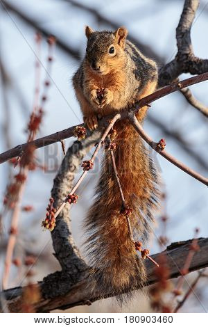 Red Fox Squirrel munching on buds in a tree.