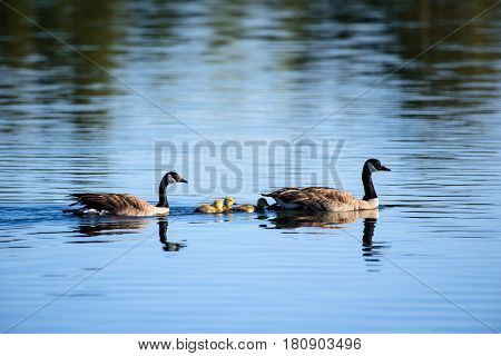 Two Canada geese swimming in a lake with their newly born chicks.