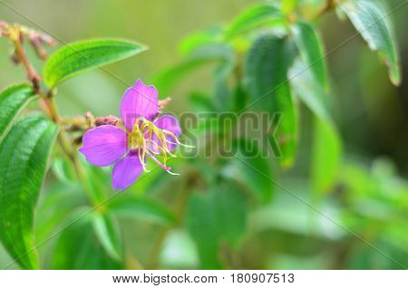 Beautiful wild purple flower (Melastoma malabathricum) selective focus