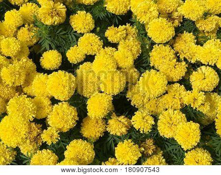 Beautiful yellow marigold garden (Tagetes erecta) - agriculture concept