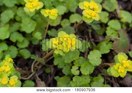 Chrysosplenium Alternifolium (alternate-leaved Golden-saxifrage)