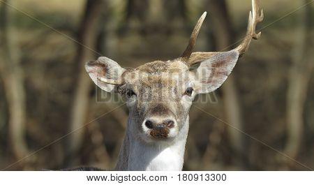 a deer showing off his broken antlers