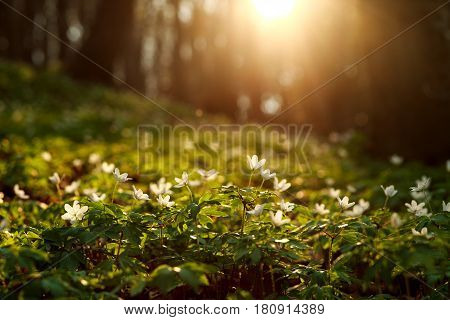 Spring awakening of flowers and vegetation in the forest against the background of the setting sun