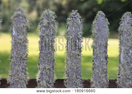 Old Picket Fence Covered in Fuzzy Lichens