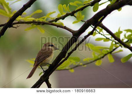 Juvenlie Brown Shrike visitor bird in winter