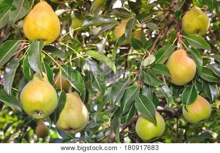 In the garden on the branches of a tree hanging large ripe pears. Presents close-up.