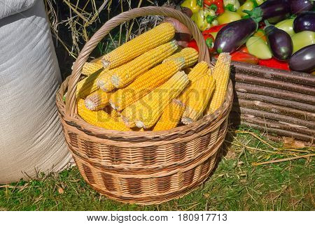 Corn in a basket for sale at the fair. Standing next to a sack of grain and lay the eggplant and pepper.