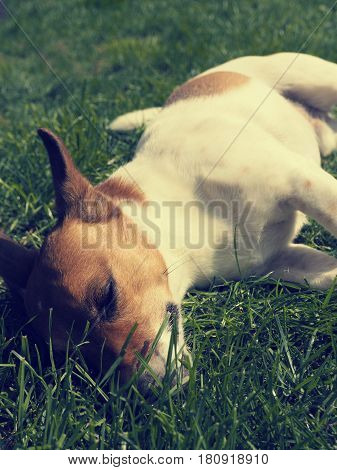 Close up shot of a sleeping Jack Russell Terrier in a garden retro film toned