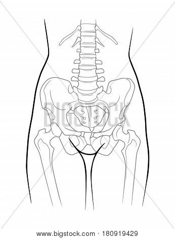 The structure of the lumbar spine pelvic girdle lower extremity belt of the female skeleton front view. Isolated on white background poster