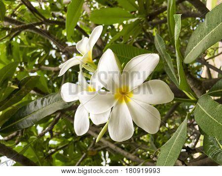 Frangipani or Plumeria flower captured on bright sunny evening in spring season